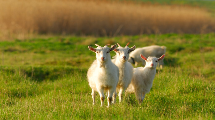 Four goats standing in a field